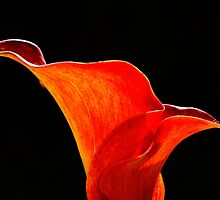 Calla Lily High Contrast by Scott Lyons
