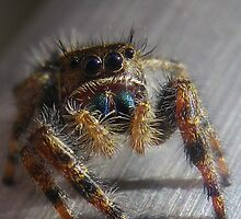 jumper spider by dottie9925
