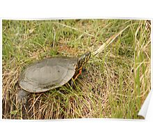 Painted Turtle Sunning on Grass Poster