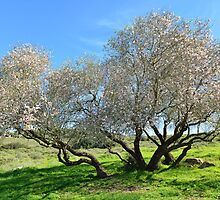 Old almond tree in bloom by Nika Lerman