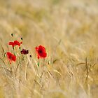 Poppies in a Field (Limited Edition) by Dale Rockell