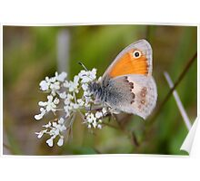 Small Heath - Coenonympha pamphilus Poster