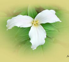 Trillium of Ontario by Rosemary Sobiera