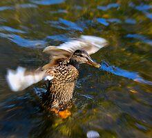 Pre-Flight Duck by Sue Morgan
