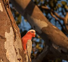 Galah by Deborah McGrath