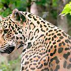 Leopard by Junec