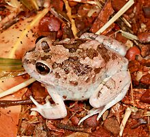 A desert burrowing frog ( similar to Limnodynastes ornatus ?)?-  Kings Canyon NT  by john  Lenagan