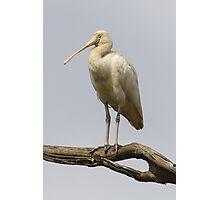 Yellow-billed Spoonbill Photographic Print