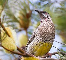Red wattlebird with banksia by Nick Bradsworth