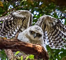 Powerful Owl juvenile, (Ninox strenua),  by Normf