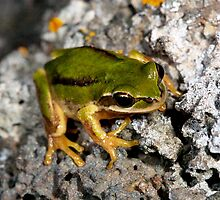 Green colour form of brown Tree Frog ( Litoria Ewingii) South west Victoria  -Oz by john  Lenagan