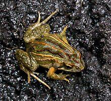 Plains Froglet ( Crinia parinsignifera) South west Victoria  -Oz by john  Lenagan