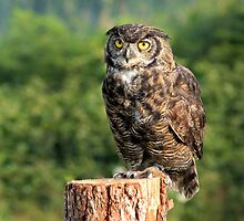 Owl at Grouse Mountain by Charles Kosina