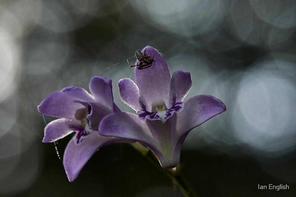 Dendrobium kingeanum by Ian English