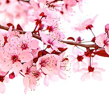 Pink Blossoms on White by Matt Hill