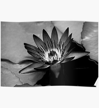 Water Lilly, cramatic in BW Poster
