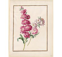 Circle of Madeleine Françoise Basseporte Unidentified pink and white flowers. Photographic Print