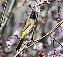 beautiful bird bulbul by Nika Lerman