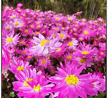 Carpet of Pink Everlastings by Paul Amyes