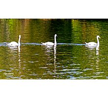 Three Swans a Swimming Photographic Print