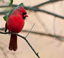 Northern Cardinal by Michael Cummings