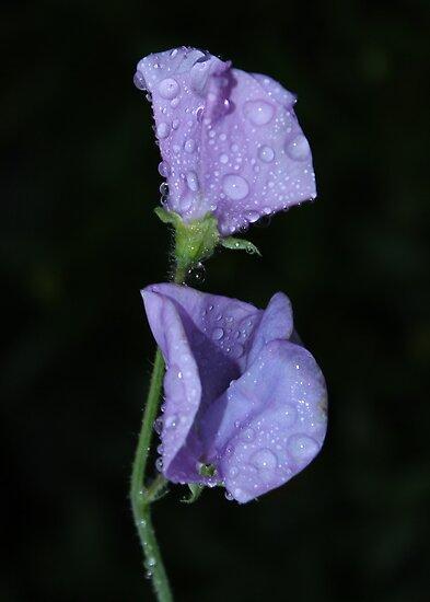 Lavender SweetPea by AnnDixon