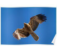 Whistling Kite Poster