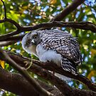Powerful Owl juvenile 2, (Ninox strenua),  by Normf
