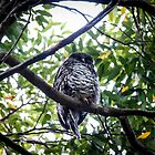 Powerful Owl, (Ninox strenua), Parent two by Normf