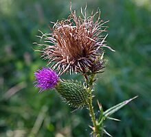 The Spear Thistle by Paul Gitto