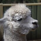 Alpaca at Peel Zoo by lezvee