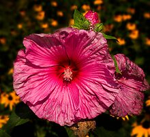 Hibiscus 1 by Thomas Young