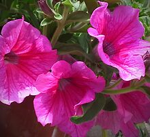 PETUNIA in a basket by OlaG