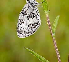 Marbled White Butterfly by Heidi Stewart