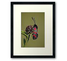 5 Spot Burnet Moth Framed Print