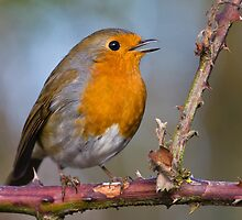 Singing Robin by Heidi Stewart