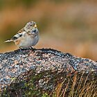 Snow Bunting by VoluntaryRanger