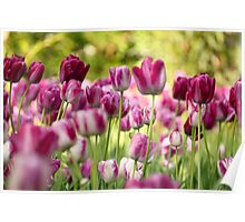 colorful tulip flower Poster