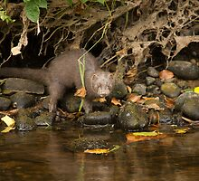 American mink by Jon Lees