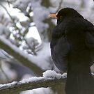 Blackbird in Snow by Steve Hammond