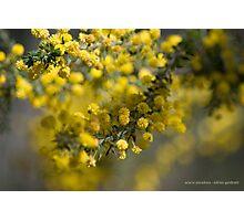 Acacia Paradoxa Photographic Print