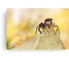 'Male peacock Jumping Spider' Canvas Print