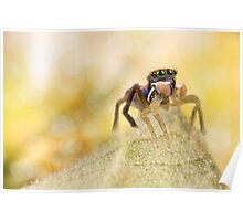 'Male peacock Jumping Spider' Poster