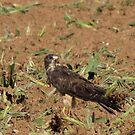 Swainson's Hawk ~ Field Feast by Kimberly Chadwick