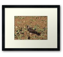 Swainson's Hawk ~ Field Feast Framed Print