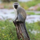 Vervet Monkey on a Pedestal by Heidi Hesse