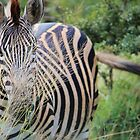 The Hiding Zebra by Heidi Hesse