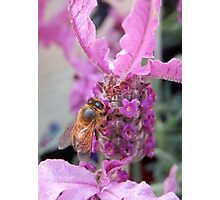 Bee on Pink Lavender Photographic Print