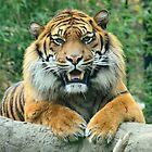 Sumatran tiger  / Sumatraanse tijger by MaartenMR
