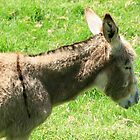 Donkey in a Pasture by rhamm